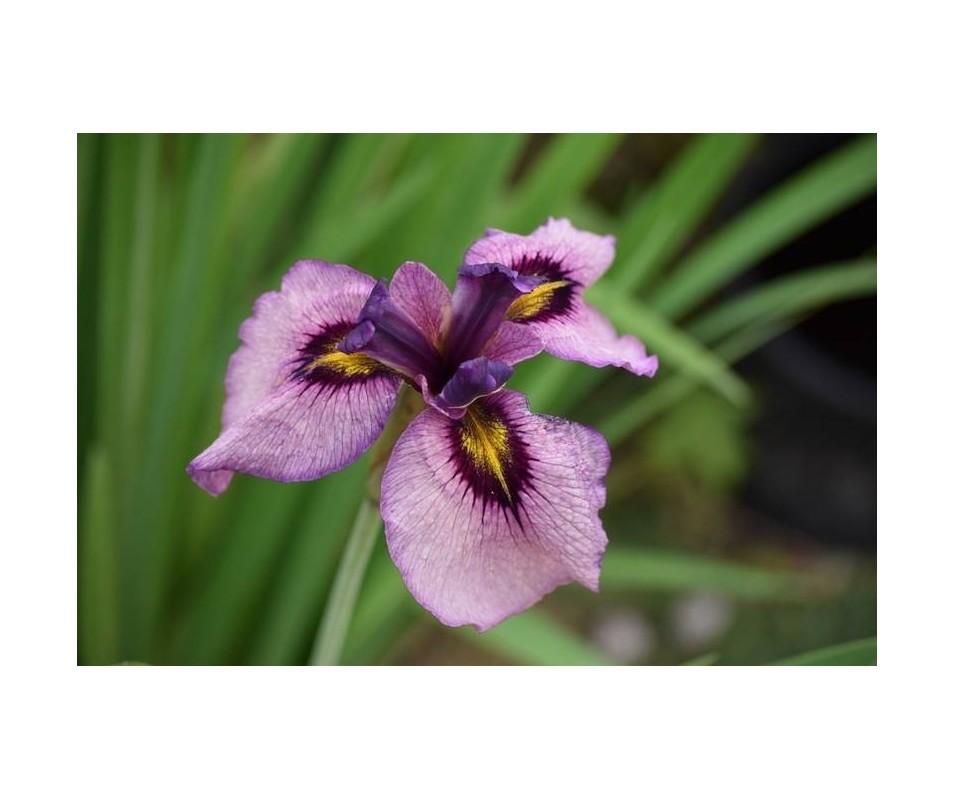 Iris pseudata 'Kurokawa Noh'