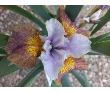 Iris sibirica 'GingerTwist'