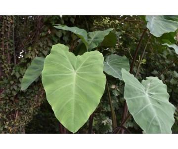 Colocasia 'Black Stem'