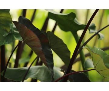 Colocasia 'Black Ruffle'