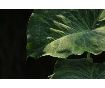 Colocasia 'Midouri Sour'