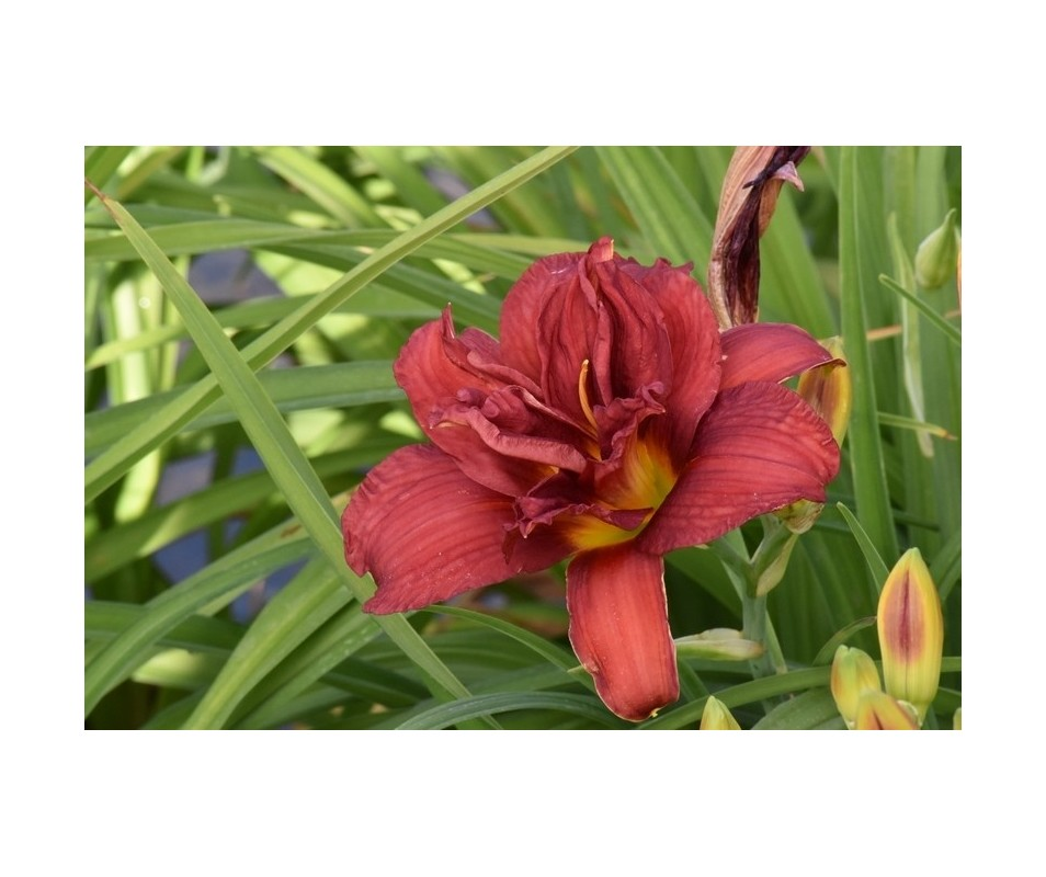 Hemerocallis 'Double Firecracker'