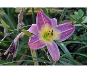 Hemerocallis 'Prairie Blue Eyes'