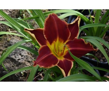 Hemerocallis 'Betty Winkler'