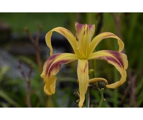 Hemerocallis 'Emmaus'