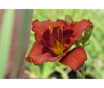 Hemerocallis 'Lucky Dragon'
