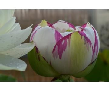 Nelumbo 'Dasajin' large versicolor