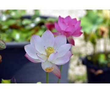 Nelumbo 'Sun Flower'
