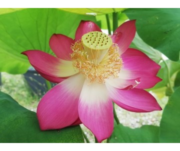 Nelumbo 'Hong Xing'