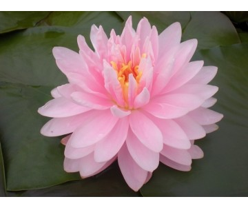 Nymphaea 'Lily Pons'