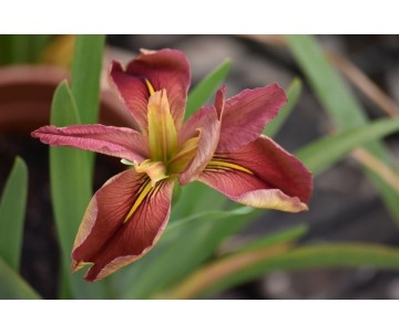 Iris Louisiana 'Little Ruby Slippers'