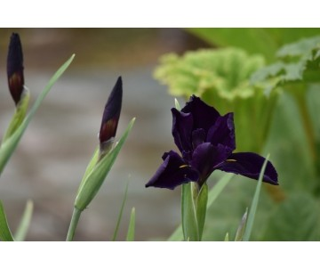 Iris lousiana 'Bout Midnight'