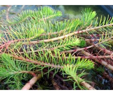 'Myriophyllum propium'
