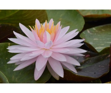 Nymphaea 'Painted Lady'