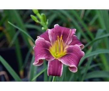Offerta Hemerocallis di 3/4 anni in vaso 13x13