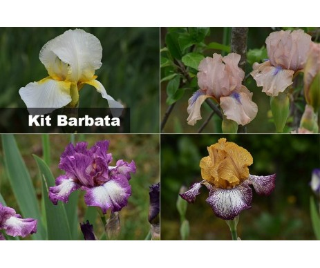 KIT Iris Barbata MIX