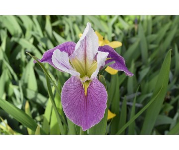 Iris Louisiana 'Colorific'