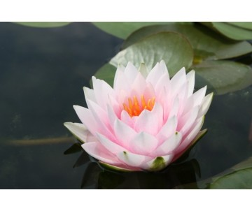 Nymphaea 'Madame Wilfron Gonnere'