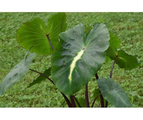 Colocasia esculenta 'White Lava'