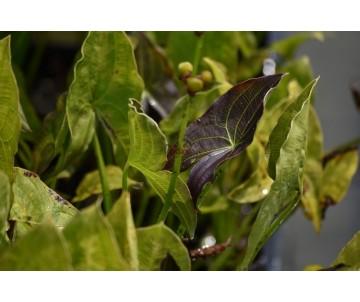 Sagittaria australis 'Benni'