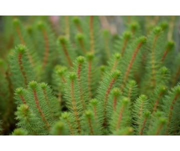 Myriophyllum Crispatum australian feather