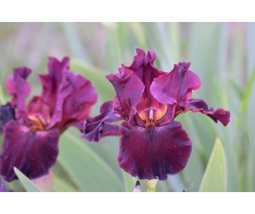Iris Barbata 'Almaden'