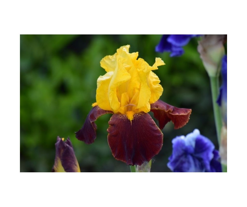Iris Barbata 'Andalou'