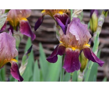 Iris Barbata 'Indian  Chief'