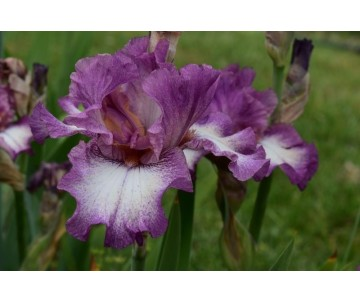 Iris Barbata 'Pane e Vino'