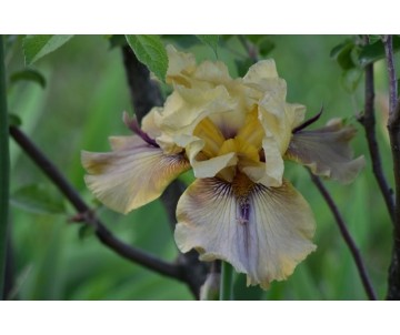Iris Barbata 'Thorn Bird'