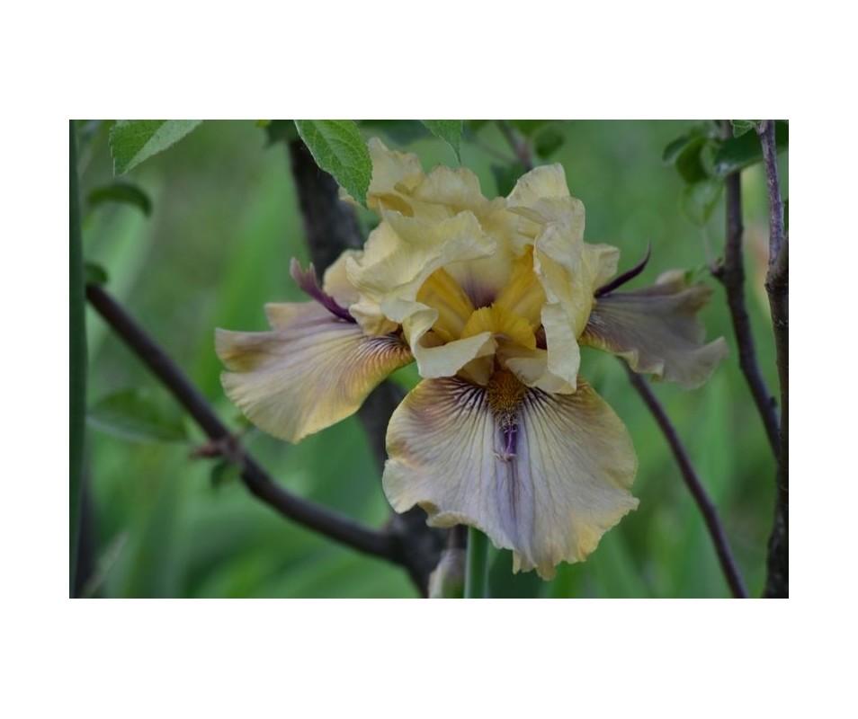 Iris Barbata 'Thorn Bird'