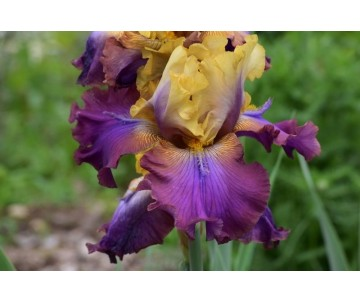 Iris Barbata 'Trillon'