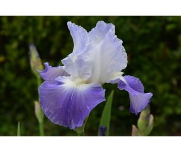 Iris Barbata bianco azzurro