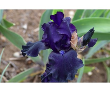 Iris Barbata blu