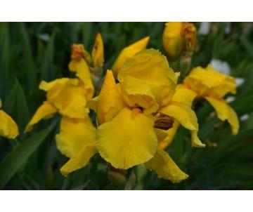 Iris Barbata giallo