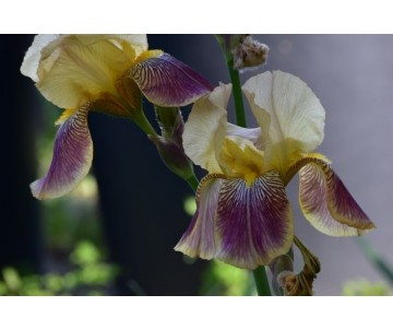 Iris Barbata giallo granata