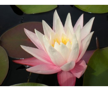 Nymphaea 'Shannon'