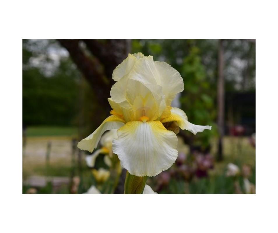 Iris Barbata giallo paglierino