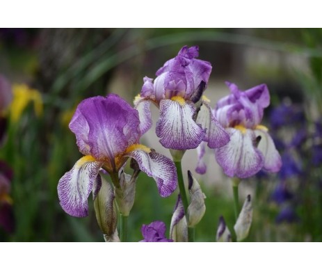 Iris Barbata viola bianco screziato