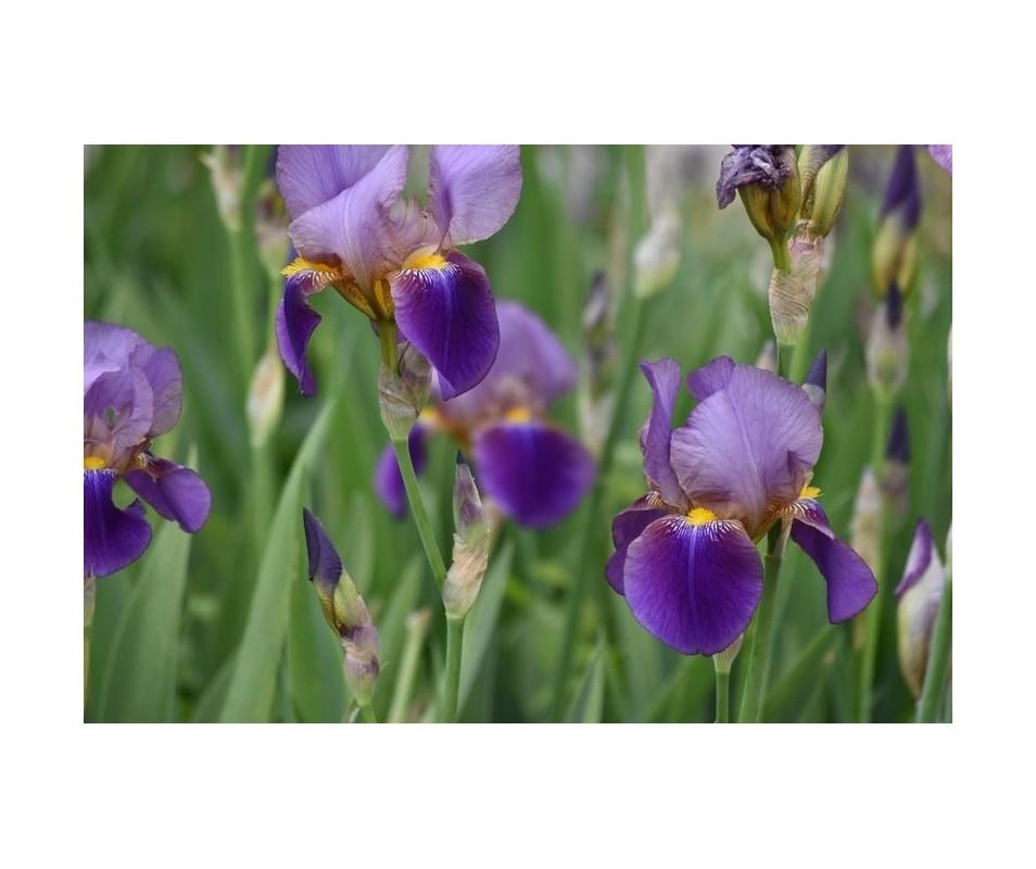 Iris Barbata viola scuro