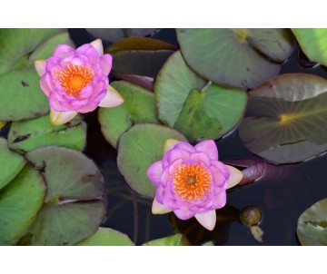 Nymphaea 'Queen Sirikit'