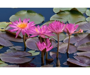 Nymphaea 'Tropic Star'