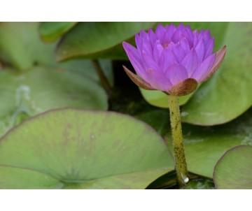 Nymphaea 'Siam Purple 1'