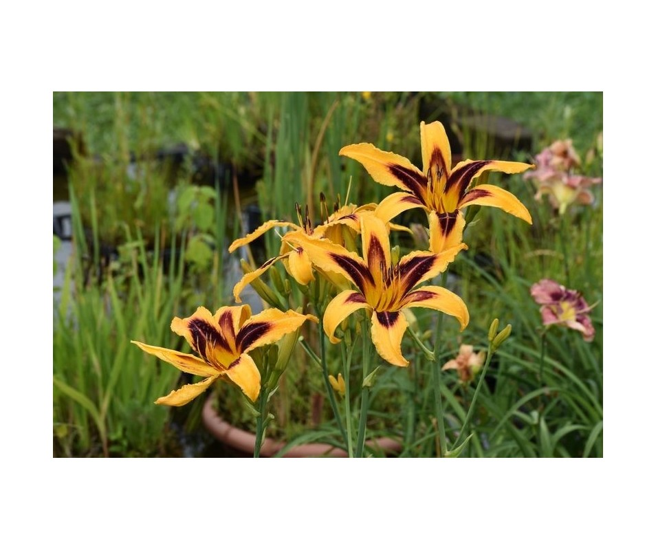 Hemerocallis 'Indian Sky'