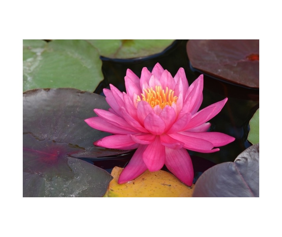 Nymphaea 'Perry's Viviparous Pink'