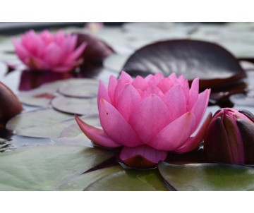 Nymphaea 'James Bridon'