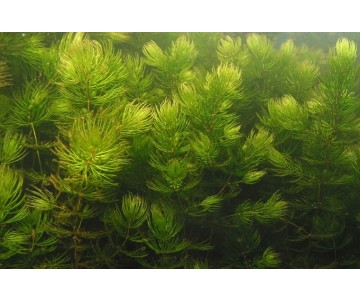 'Ceratophyllum Demersum'