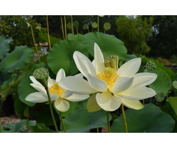 Nelumbo 'Baby Yellow'