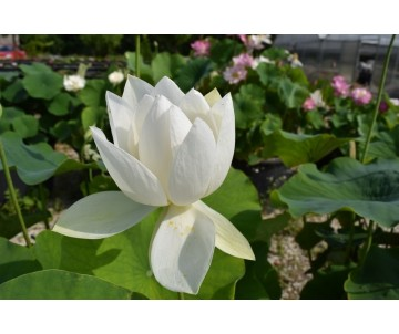 Nelumbo 'Warrior in White'