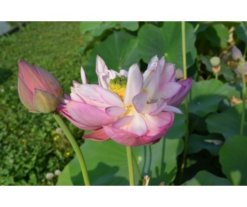 Nelumbo 'Scarlet Peach'